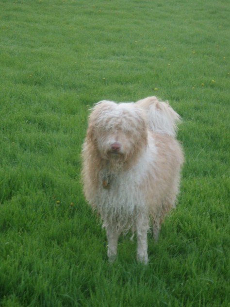 This is Gwynn when he's at his wooliest.  Also after he's had a chance to get at a puddle and wallow for a while...
